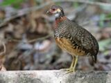 Chestnut-necklaced Partridge