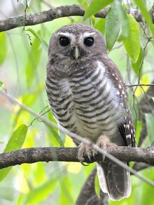 Species-Ninox-superciliaris-1