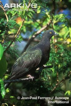 Christmas-imperial-pigeon-