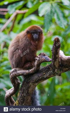 Red-titi-monkey-callicebus-cupreus-on-branch-CXJK9X