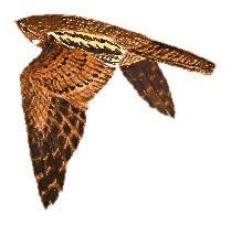 05 31 047 Caprimulgus binotatus flying m