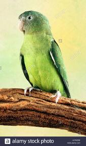 Grey-headed-lovebird-or-madagascar-lovebird-agapornis-cana-AYRKBW
