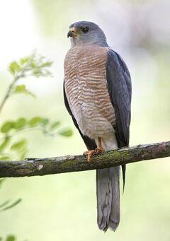 Levant-Sparrowhawk 308 medium
