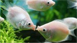 Kissing-gourami