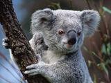 Taiwanese Koala