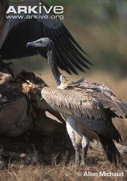 Slender-billed-vulture