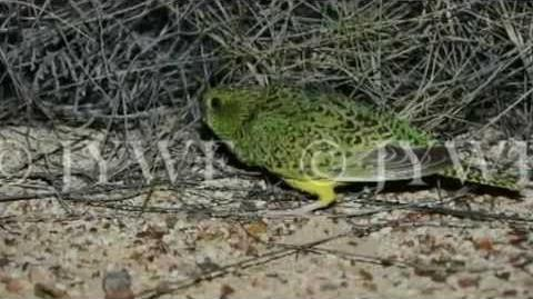Thought to be extinct Queensland bird enthusiast presents first photos of the elusive night parrot