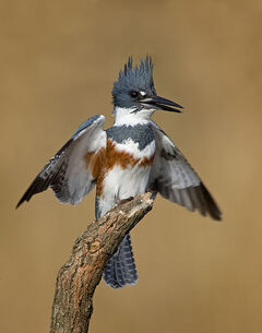 Belted-kingfisher1