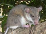 Tsingy Tufted-tailed Rat