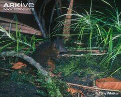 Golden-bellied-treeshrew-tame-individual