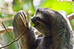 Sloth eating