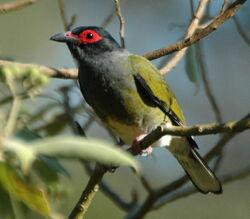 Green Figbird samcem