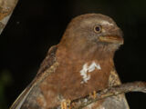 Solomons Frogmouth