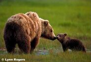Grizzly bear 1a