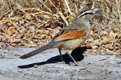 Brown-crowned.tchagra.namibia.otavi.07.1a