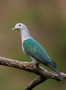 67G0386-Green-Imperial-Pigeon
