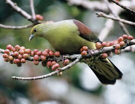 Ba2 whistling green pigeon