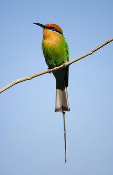 Bohms bee-eater