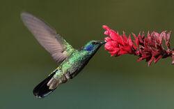 Colibri thalassinus