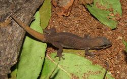 Dixonius melanostictus