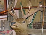Merriam's Elk