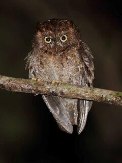 Mindoro scops owl rob h
