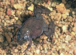 Paradoxophyla tiarano