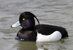 Tufted-Duck-Pictures