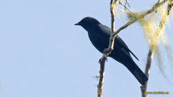 5966 Black-bellied Cuckooshrike Coracina montana Mokwam to Manokwari road West Papua Indonesia 20130809 3 1600 copy