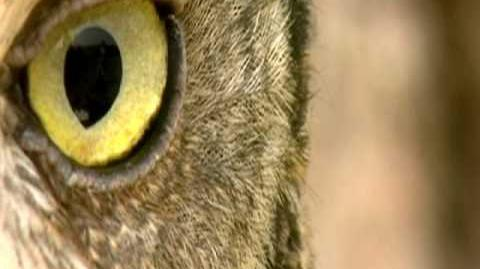 Nature's Perfect Predators - Great Horned Owl