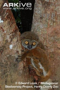 Unicolor-woolly-lemur-in-tree