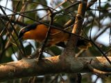 Many-colored Bushshrike