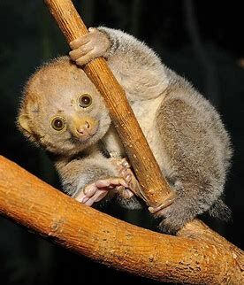 Potto | Animal Database | Fandom
