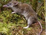 Mount Data Shrew Rat