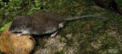 0619-water-rat