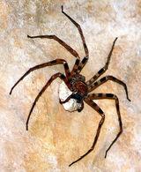 Giant Huntsman Spider