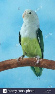 Grey-headed-lovebird-ATKP97