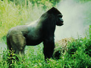 Eastern lowland gorilla 7.31.2012 hero and circle HI 48384