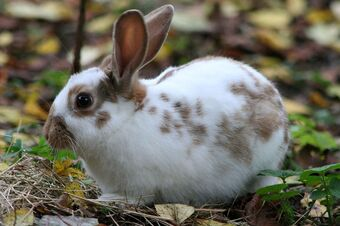 Domestic Rabbit Animal Database Fandom