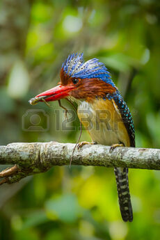 30491691-close-up-portrait-of-male-banded-kingfisher-lacedo-pulchella--with-lizard-in-his-mount-and-spread-hi