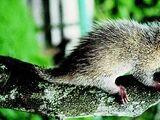 Roosmalen's Dwarf Porcupine