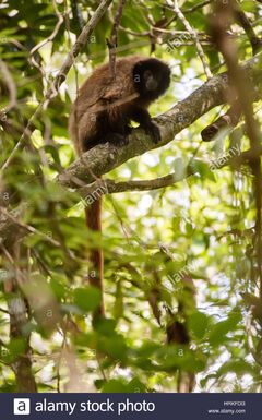 Masked-titi-monkey-callicebus-personatus-photographed-in-domingos-HRKFDG