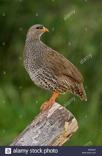 Natal-spurfowl-perched-on-log-BRM5EP