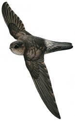 05 39 029 Aerodramus orientalis