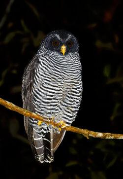 Black-banded-Owl
