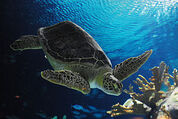257px-TurtleOmaha