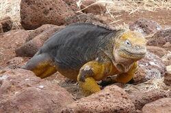 Conolophus subcristatus (North Seymour 3)