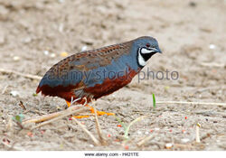 King-quail-blue-breasted-quail-coturnix-chinensis-male-birds-of-thailand-h421te