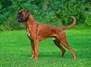 Male fawn Boxer undocked