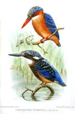 800px-CorythornisThomensisGoodchild